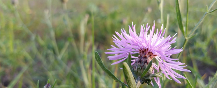 Wild thistle in the summer evening sun