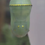 Monarch Butterfly chrysalis, green with gold flecks and black trim