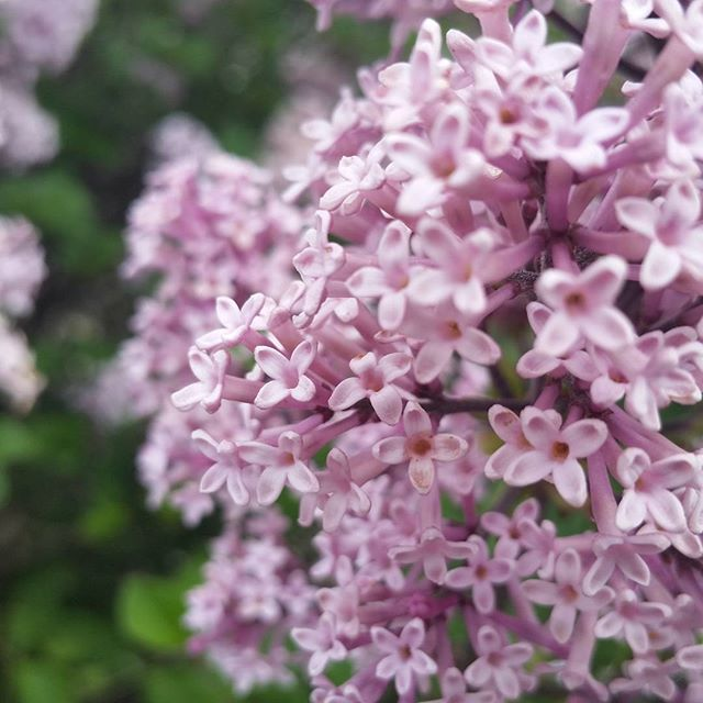 Japanese lilacs