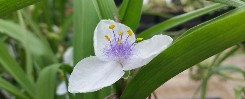 White flower with three petals, purple fuzz in the center, and 4 little stalks in the center.